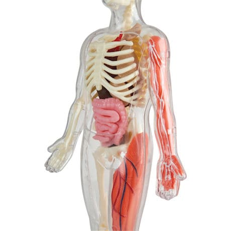 SmartLab Squishy Human Body Toy